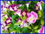 トレニアは日陰の夏の花壇でも育つ!増やし方や冬越しの方法は?4
