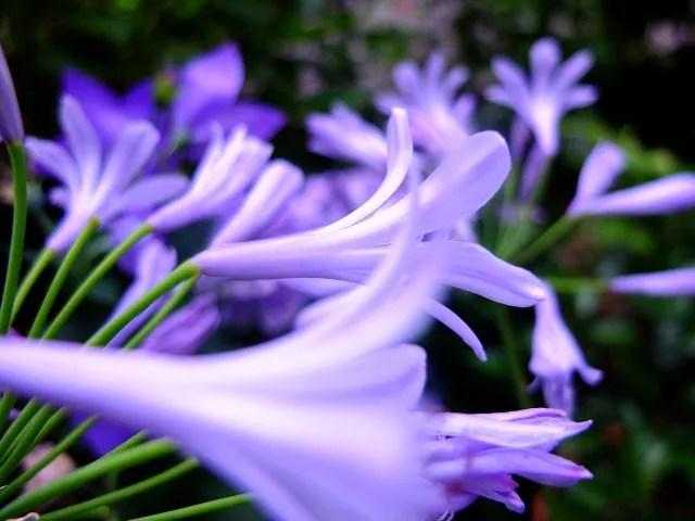 アガパンサスは日陰でも育つ?植木鉢の育て方や花が咲かない原因は?1