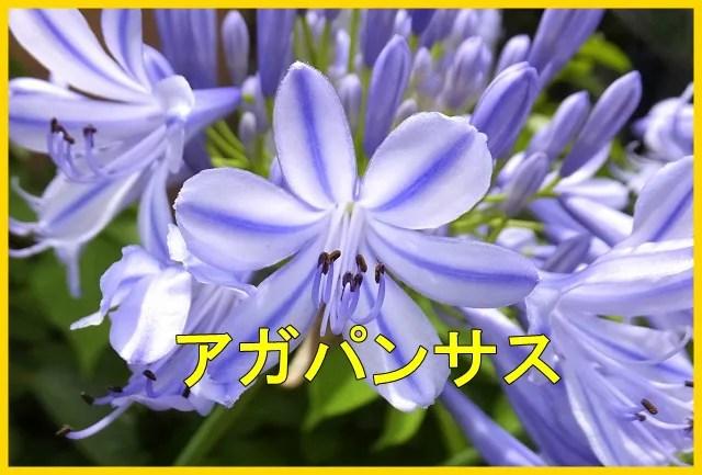 アガパンサスは日陰でも育つ?植木鉢の育て方や花が咲かない原因は?6