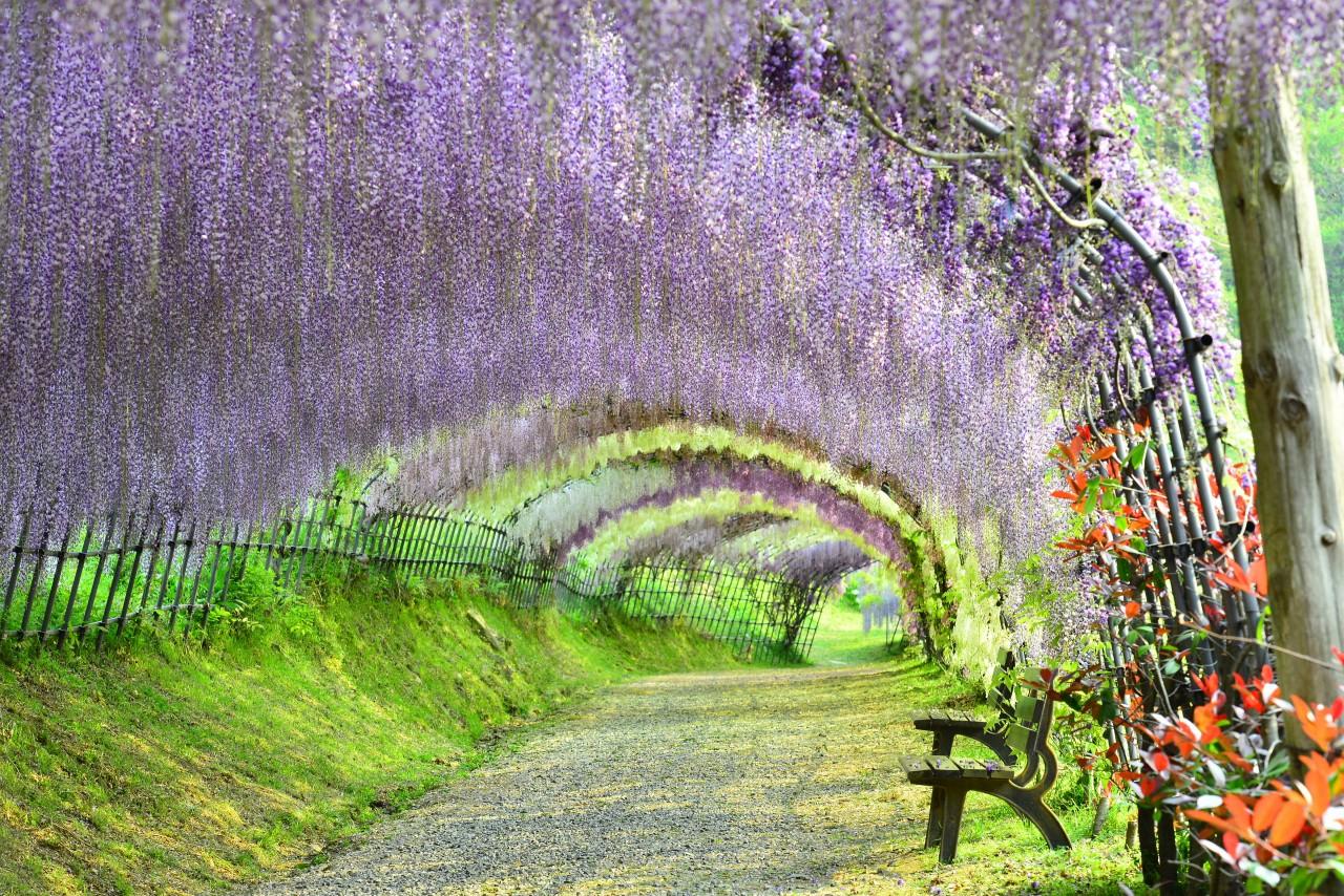 Wisteria Garden ( Kyushu )