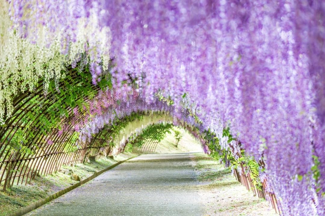 Wisteria Tunnel at Kawachi Wisteria Fuji Garden, Fukuoka (CANVA)
