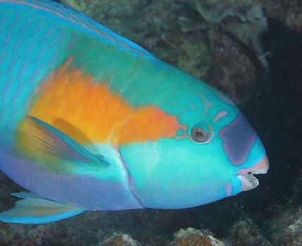 Parrot laut