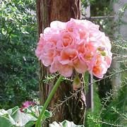 Geranium Pink Potted