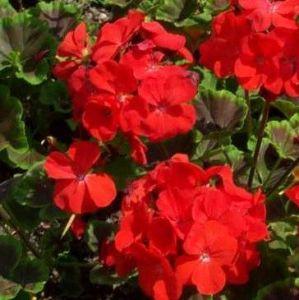 Geranium Red Potted