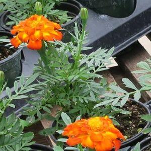 Orange Marigold Potted