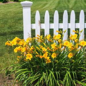Several dozen bright orange daylily blooms with a picket fence background