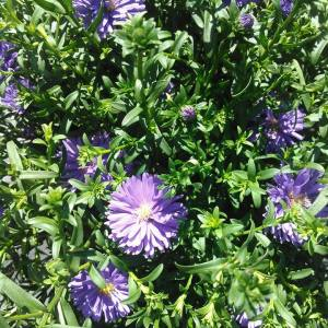 Purple Aster with green foliage