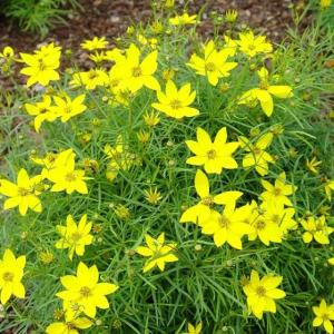 Yellow daisy-like blooms with green foliage