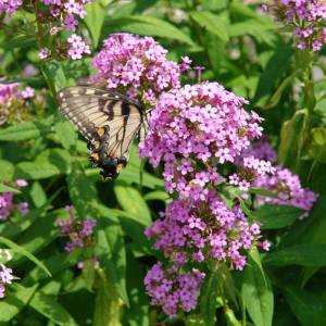 Butterfly landed on tiny purple blooms