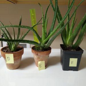 "Succulent, 10-12"" tall aloe in 4"" clay pot"