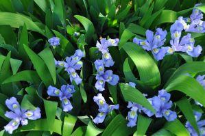 Pale blue/purple small iris blooms
