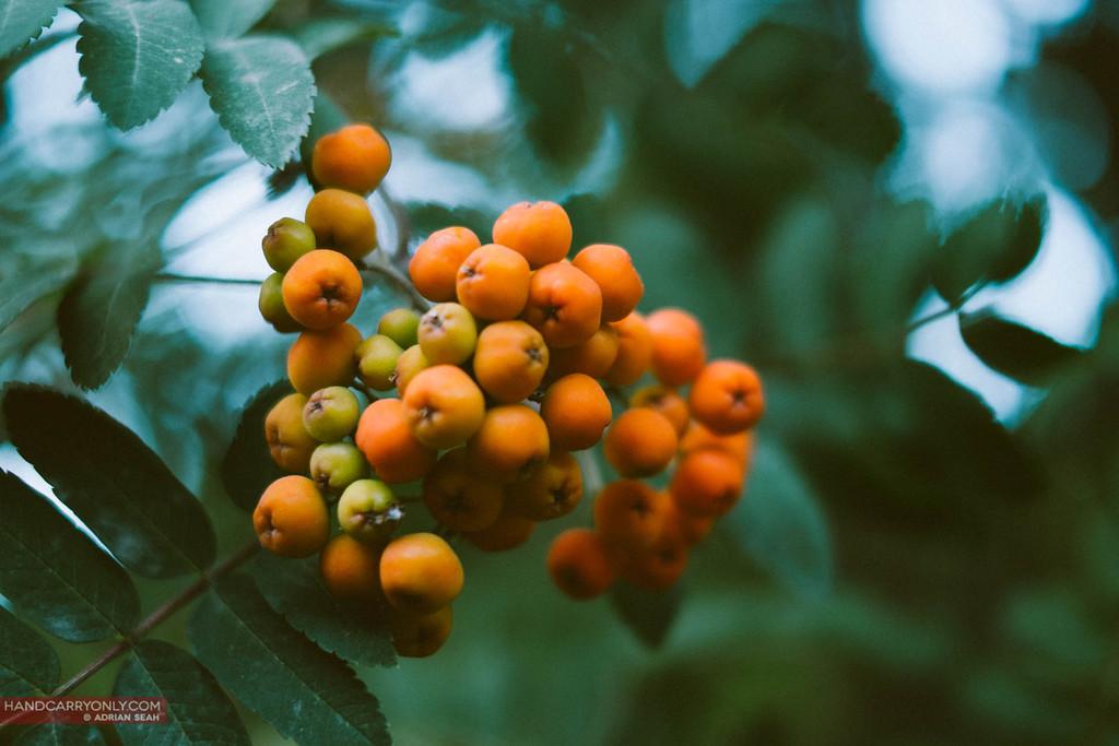 orange berries on a tree, el bolson, patagonia, argentina