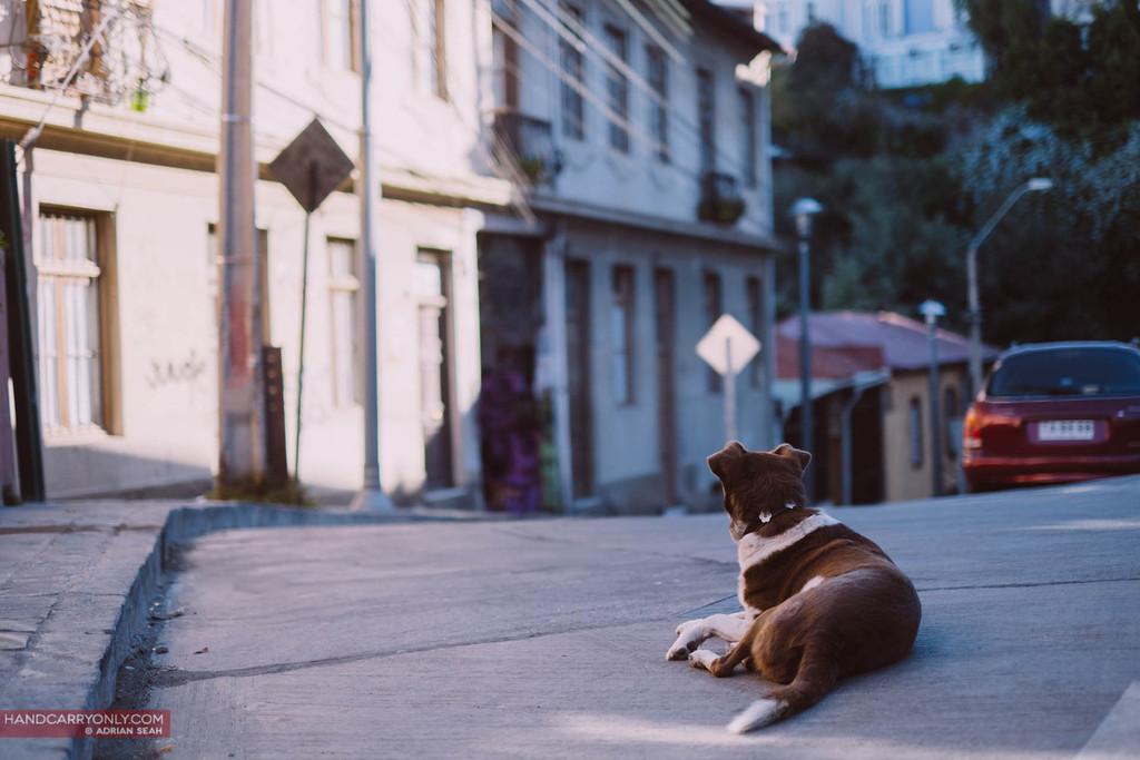 stray dog valparaiso chile