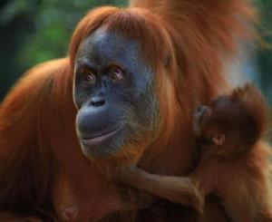 Photo of Sumatran Orangutan with child photo from GRASP