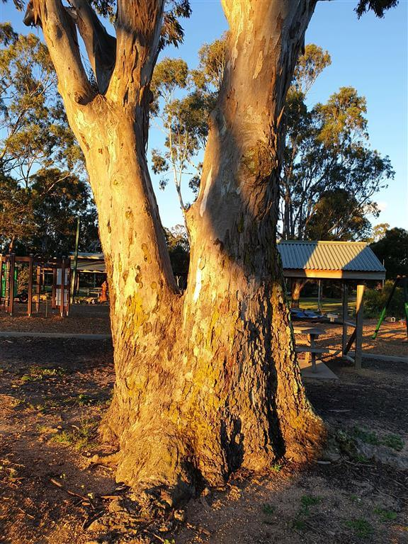 Victorian Gum Tree at the Apex Park in Heyfield