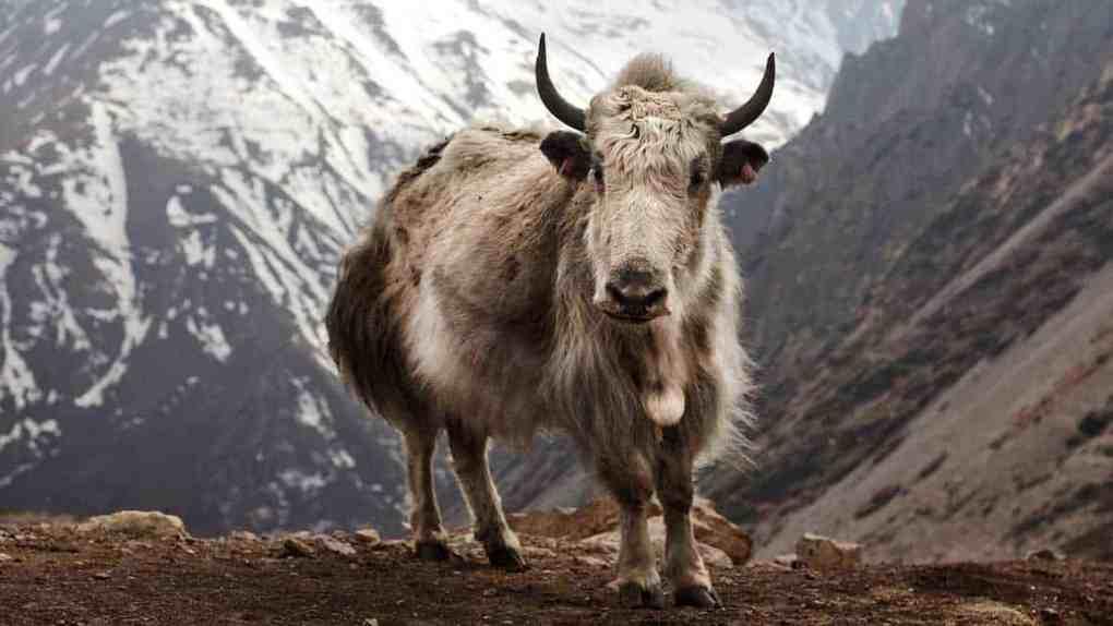 how to wash yak wool blanket