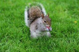 Squirrel in Harvard Square, Boston USA