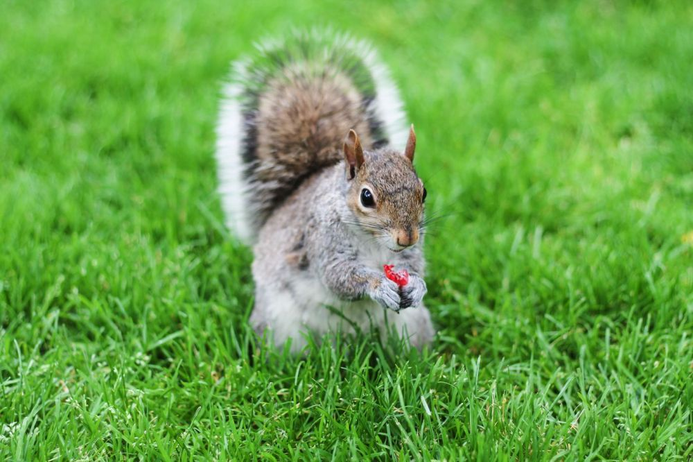 Squirrels, Strawberries And Frozen Yoghurts in Harvard (4)