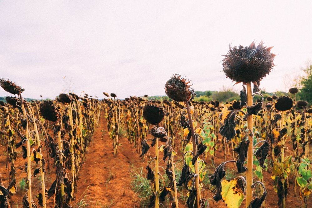 Sunflower Fields... (10)