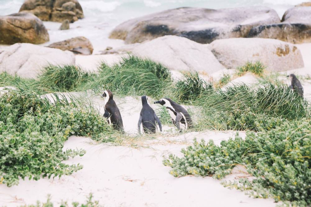 How To Visit Penguin Beach In South Africa (15)