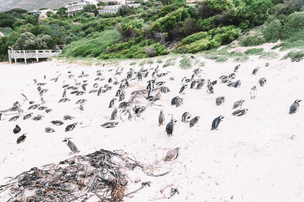How To Visit Penguin Beach In South Africa (4)