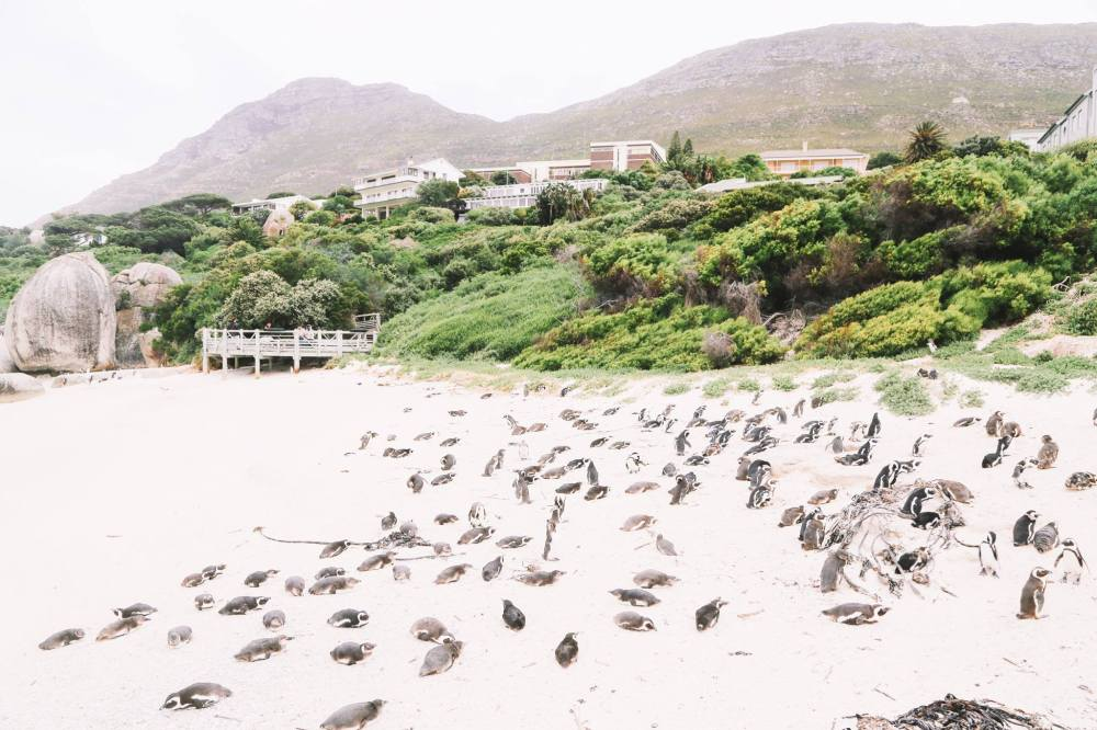 How To Visit Penguin Beach In South Africa (19)