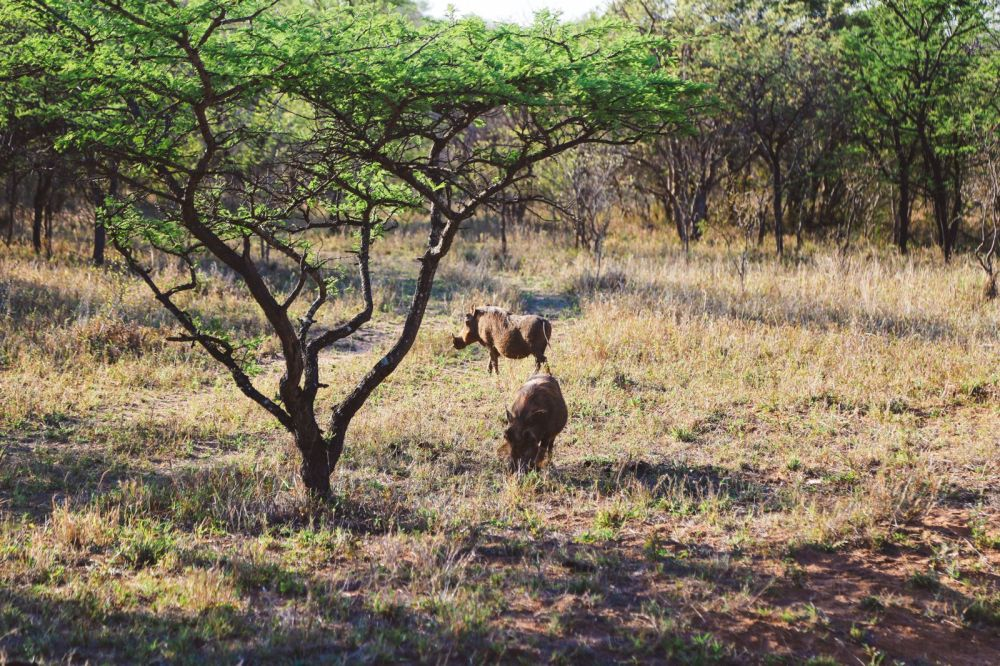 Midnight Lions, Skittish Giraffes And The Deadliest Of The Safari Big 5 In South Africa (45)