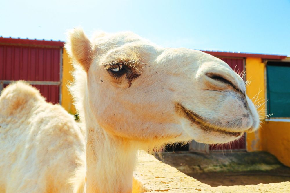 Sand-Dunes, Windmills And Cute Little Piglets In Fuerteventura, Canary Island, Spain (29)