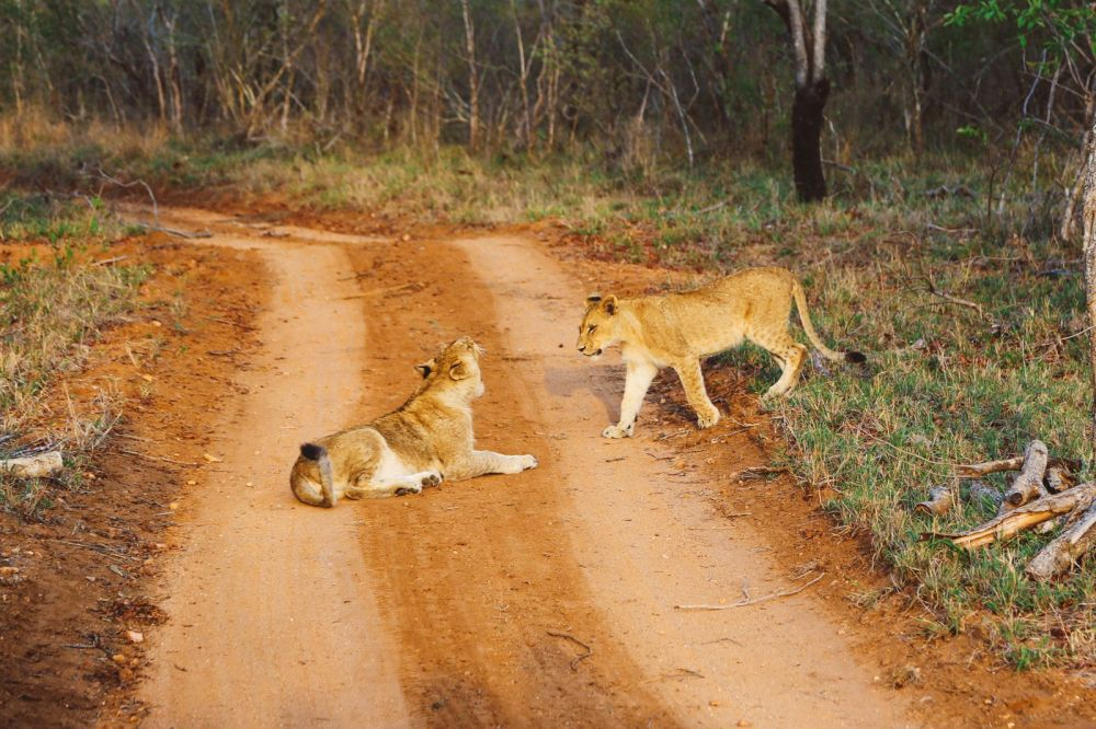 What's It Like To Be Stuck In A Pride Of Lions On Safari In South Africa? (6)