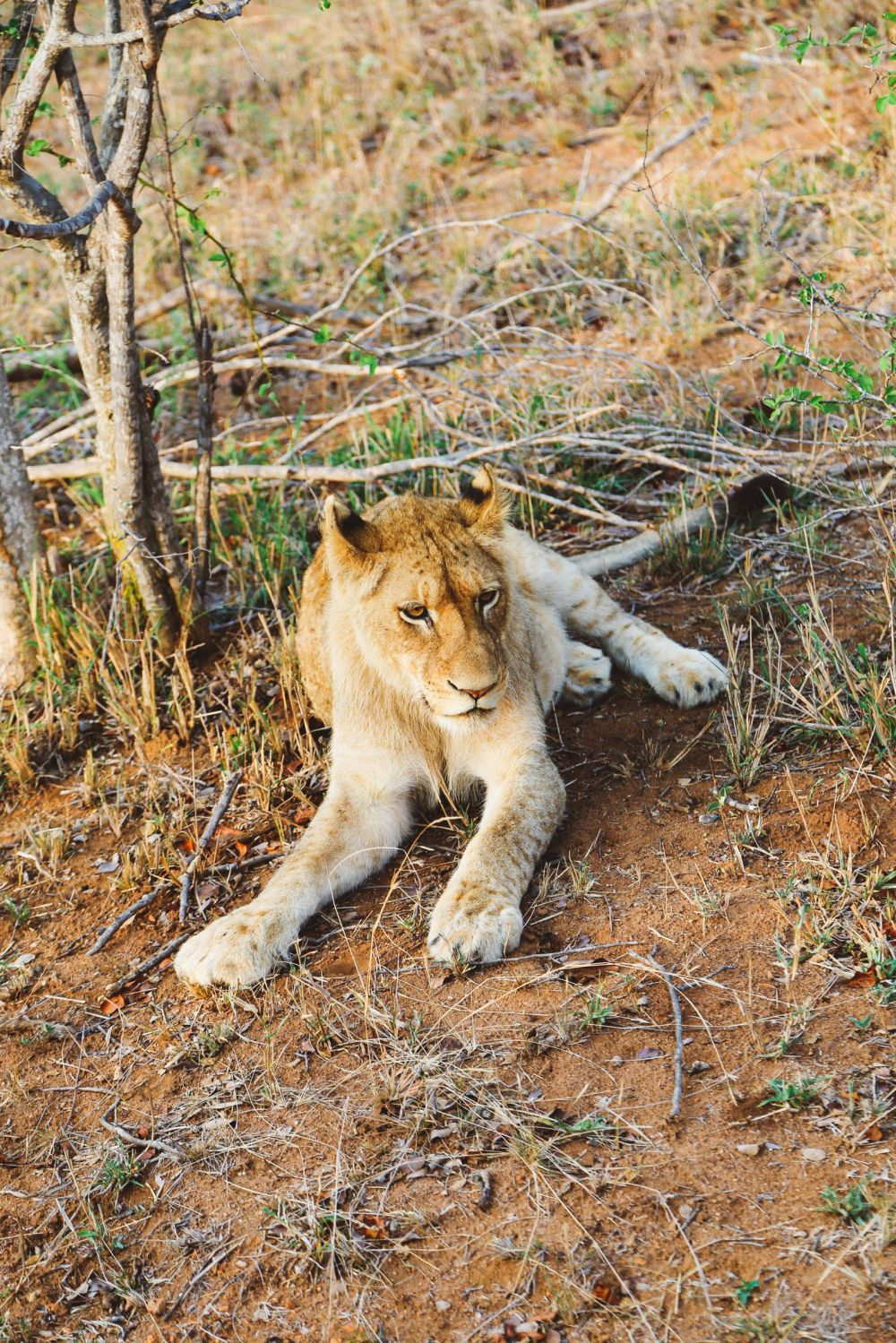 What's It Like To Be Stuck In A Pride Of Lions On Safari In South Africa? (10)