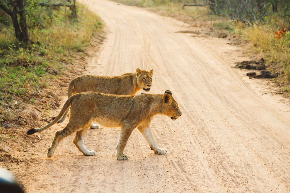 What's It Like To Be Stuck In A Pride Of Lions On Safari In South Africa? (15)