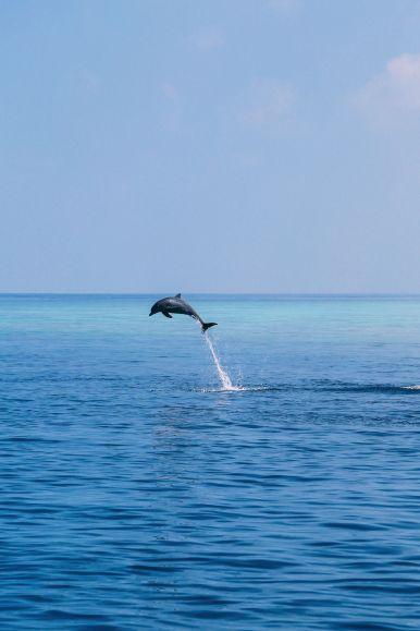 Maafushivaru, Birthing Dolphins And Swimming With Manta Rays... In The Maldives (43)