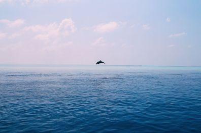 Maafushivaru, Birthing Dolphins And Swimming With Manta Rays... In The Maldives (50)
