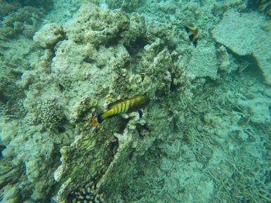 Swimming With Wild Turtles And Those Amazing Island Colours... At Kandolhu Island, Maldives (15)