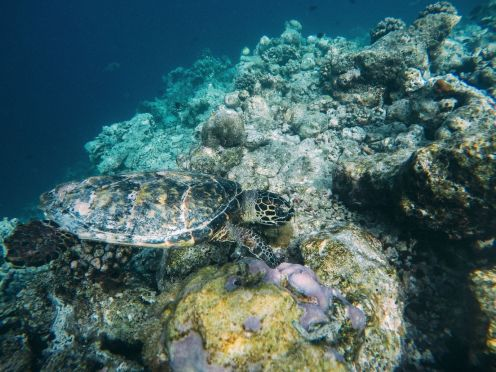 Swimming With Wild Turtles And Those Amazing Island Colours... At Kandolhu Island, Maldives (28)