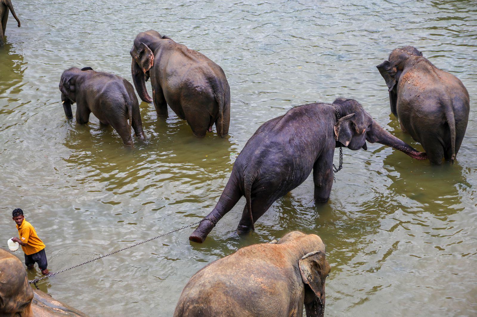 Here's Why You Should Never Visit Pinnawala Elephant Orphanage In Sri Lanka 2017 (3)