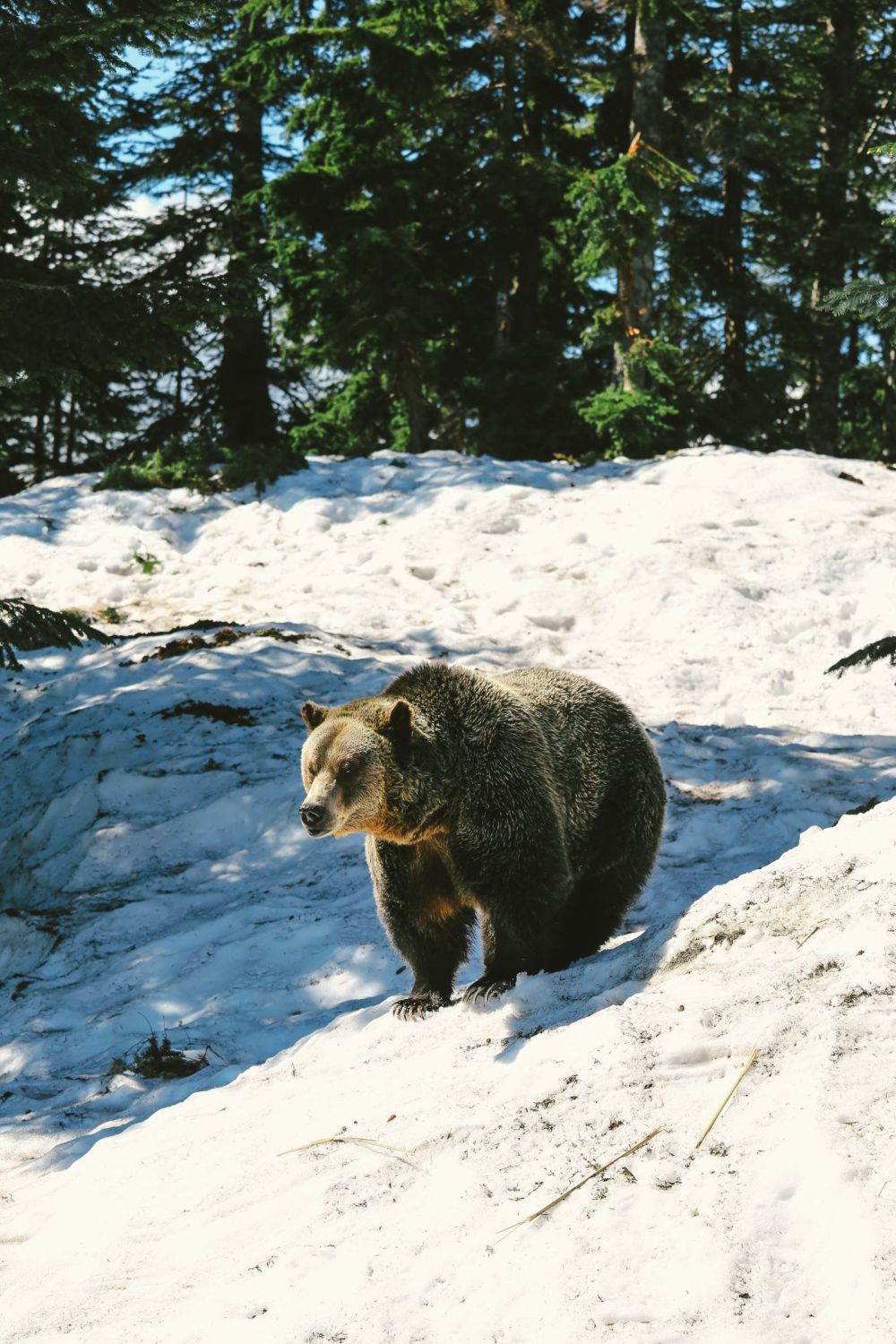 Finding Grizzly Bears On Grouse Mountain... In Vancouver, Canada (22)