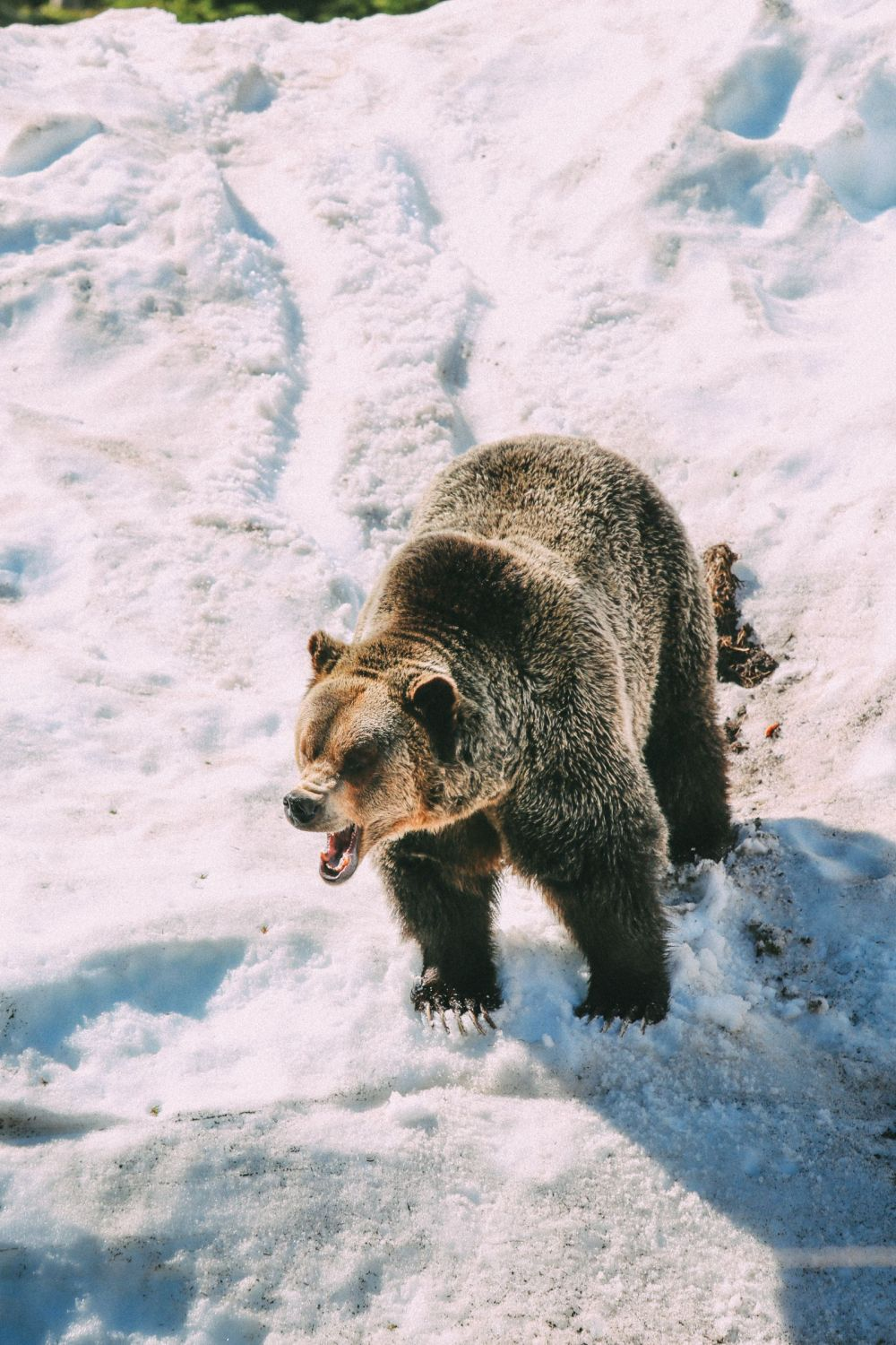 Finding Grizzly Bears On Grouse Mountain... In Vancouver, Canada (24)