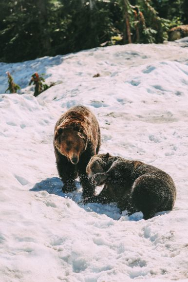 Finding Grizzly Bears On Grouse Mountain... In Vancouver, Canada (27)