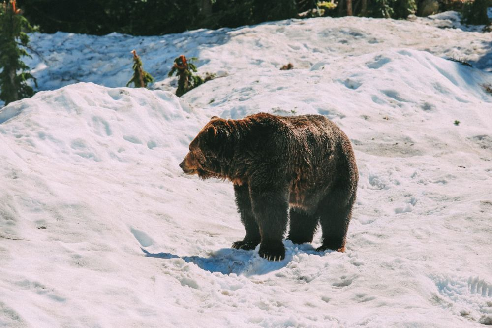 Finding Grizzly Bears On Grouse Mountain... In Vancouver, Canada (29)