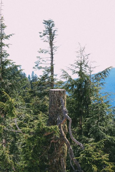 Finding Grizzly Bears On Grouse Mountain... In Vancouver, Canada (46)