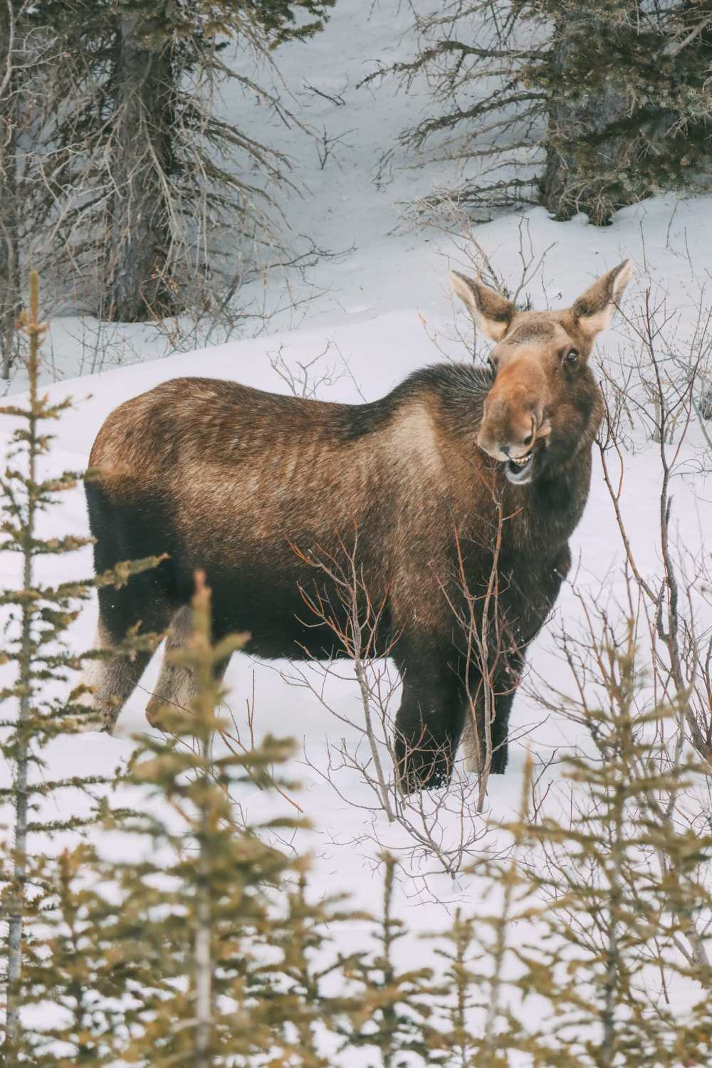 Finding Wild Moose And Skiing In Sunshine Village... In Banff, Canada (7)