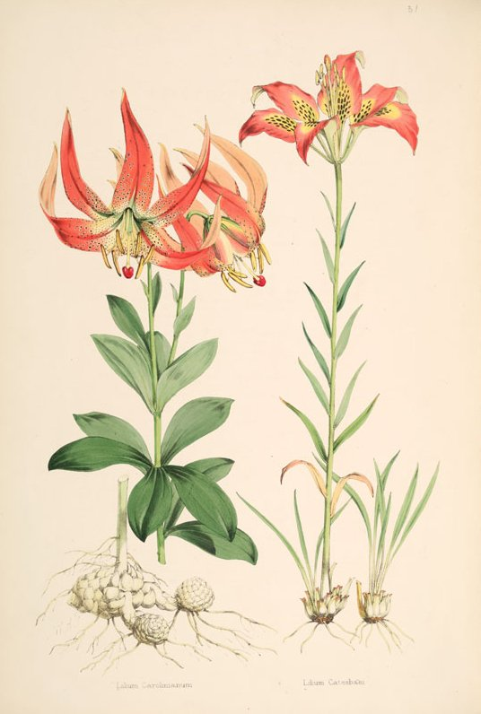 The Carolina Lily is North Carolina's state wildflower