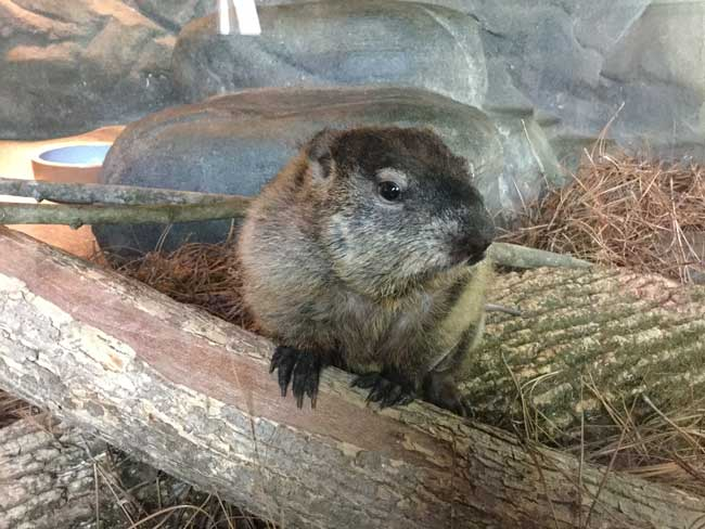 Queen Charlotte is gearing up for her Groundhog Day Predictions at the Charlotte Nature Museum