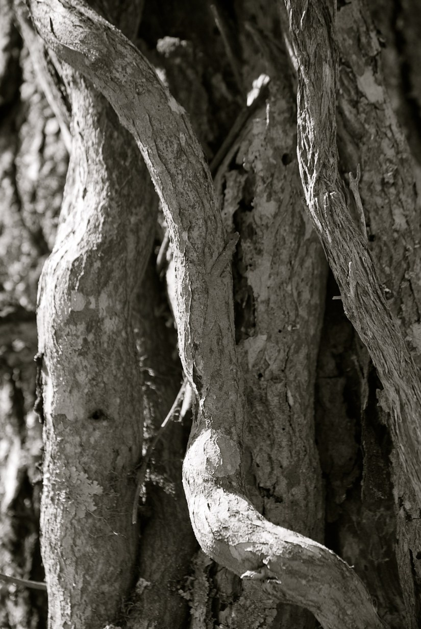 Black & White image of twisted tree textures