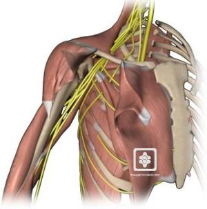 Shoulder Anatomy | New York, NY | HandSport Surgery Institute