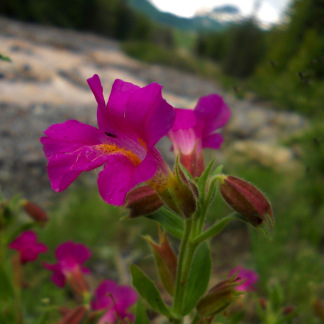 Monkeyflower - Mount Rainier National Park, WA