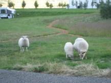 iceland-sheep5