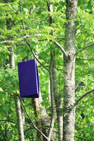 Emerald Ash Borer Trap and Thatch