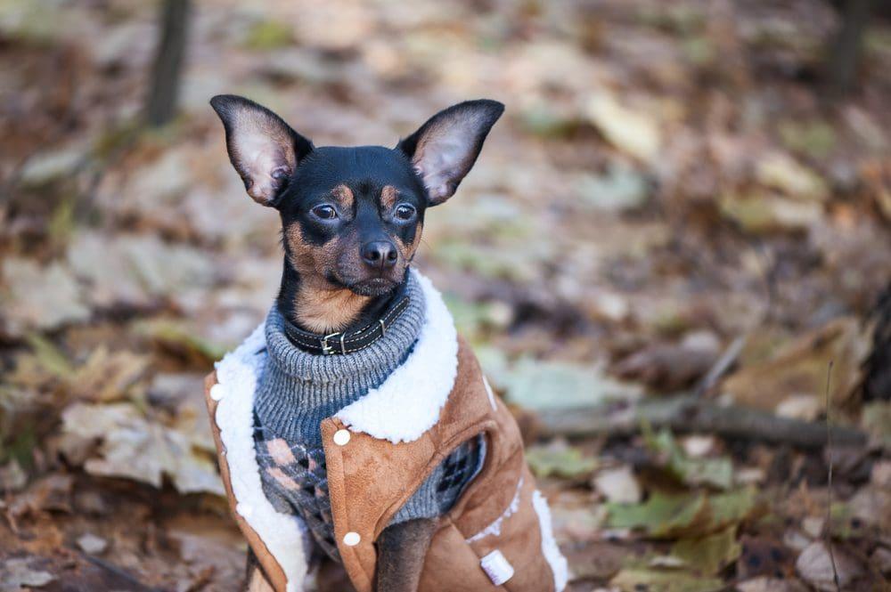 fall dog sweater